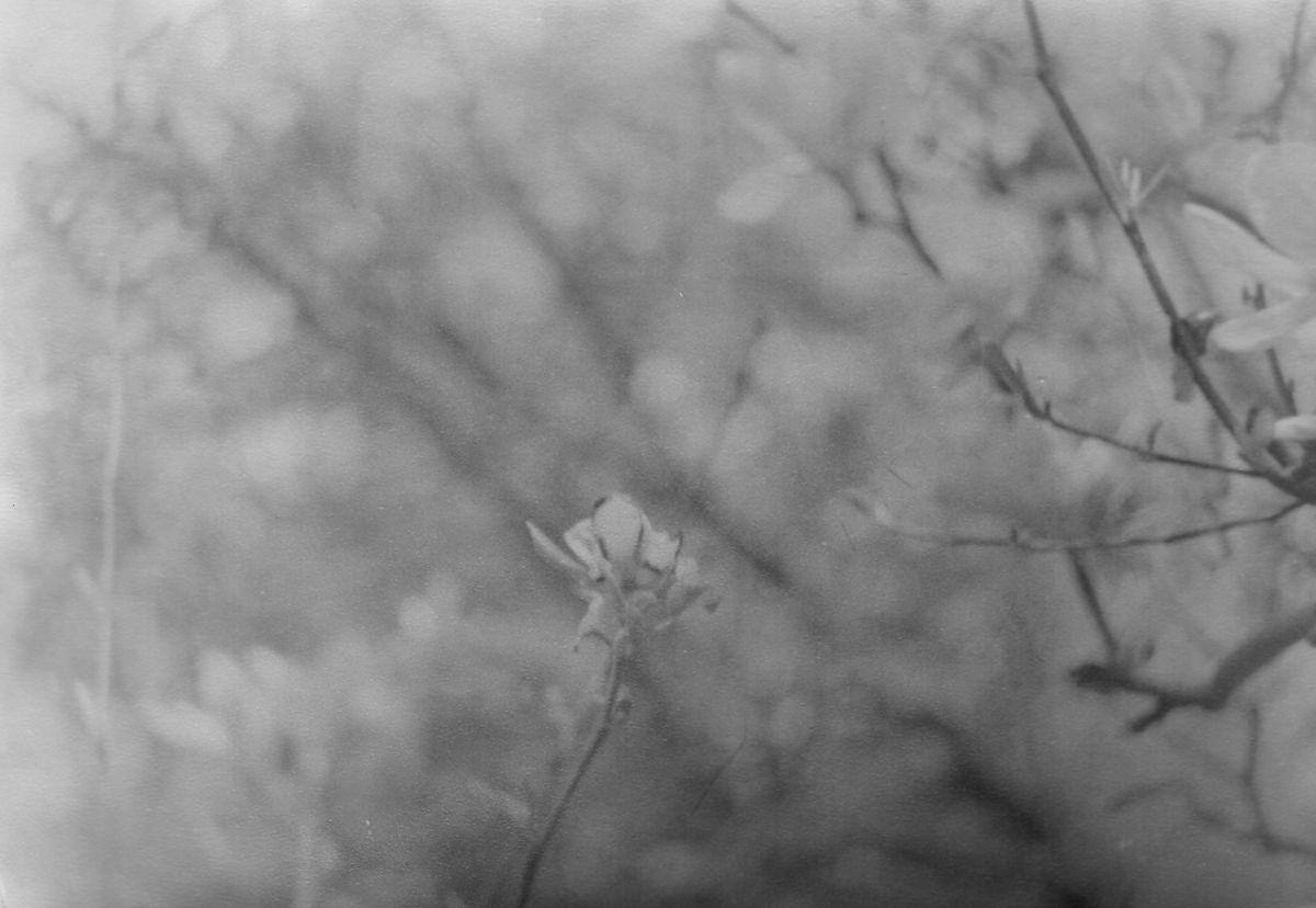 Die Magnolienblüten an der Nonne